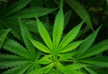 Cannabis-&-CBD-Oil-on-DependableBlog